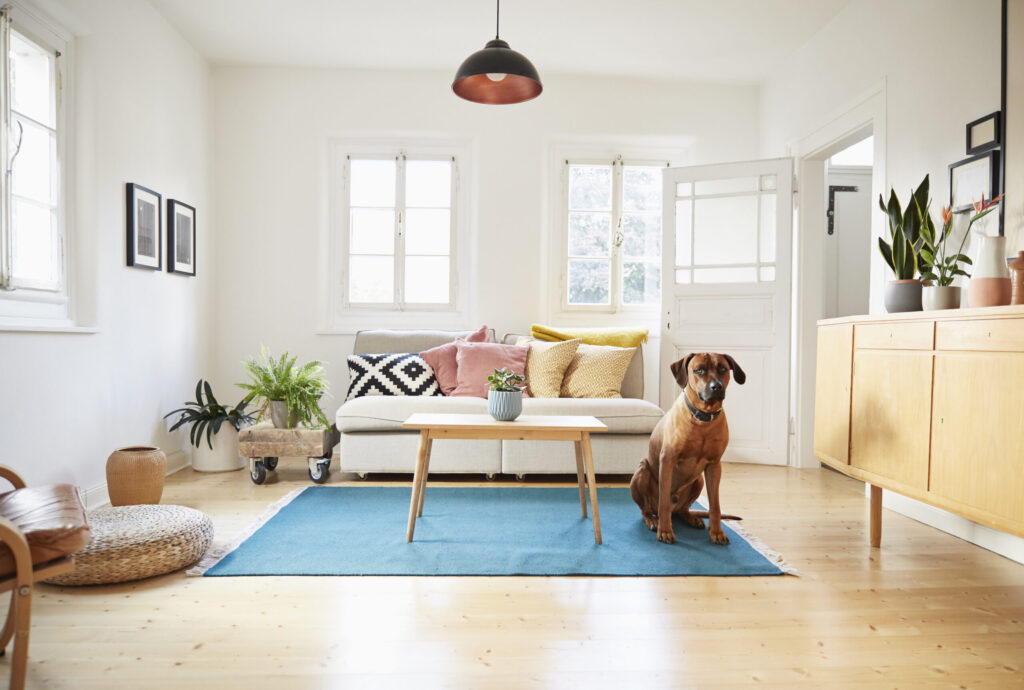 Germany, North-Rhine-Westphalia, Cologne, rhodesian ridgeback sitting in bright modern living room in an old country house