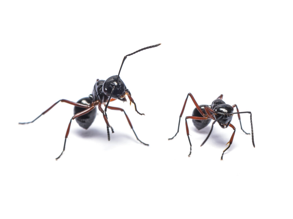 Close up photo of two black ants