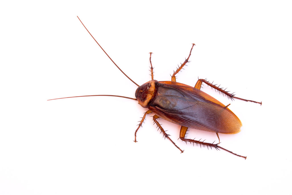 Image of cockroach from above