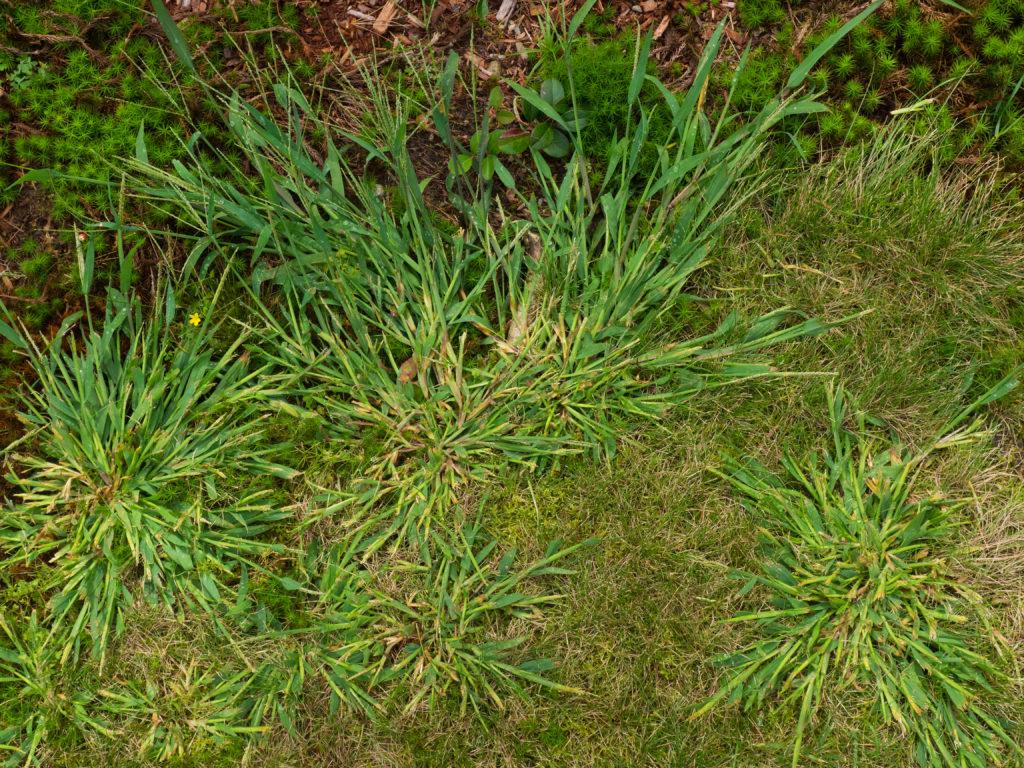 Close up photo of crabgrass weeds