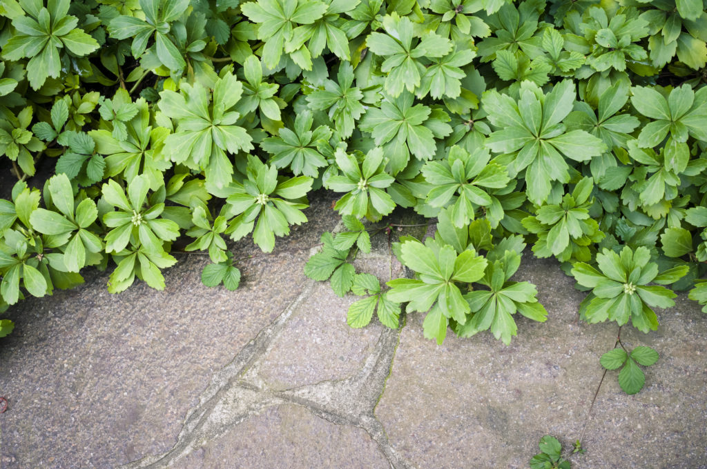 Pachysandra groundcover against gray stone