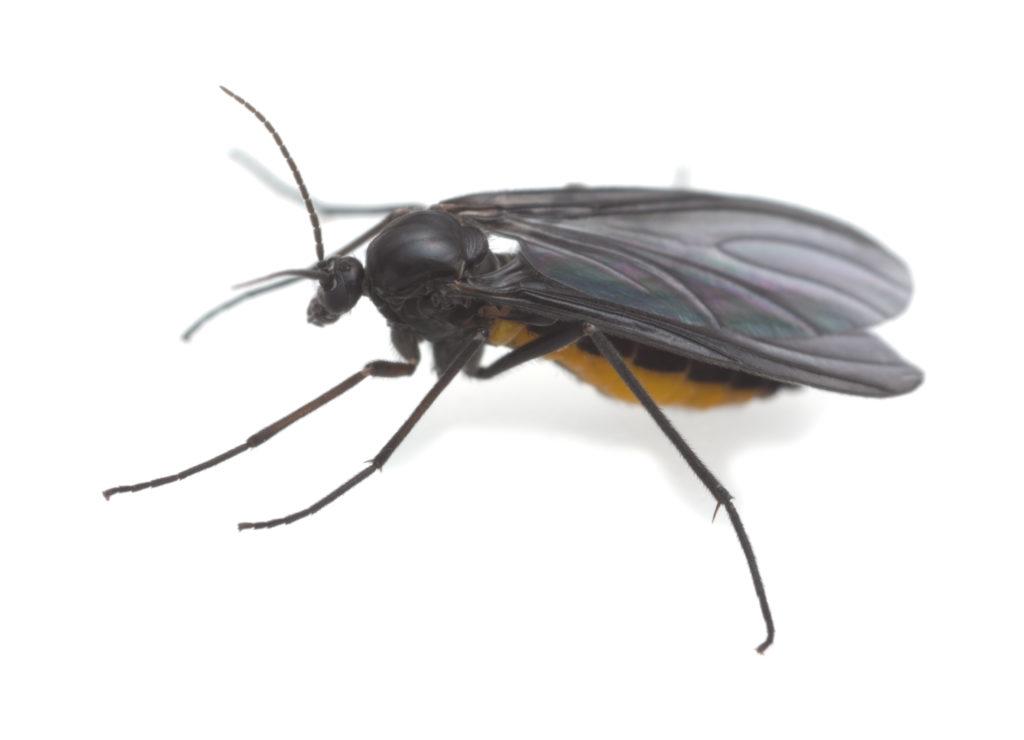 Close-up of a dark-winged fungus gnat.