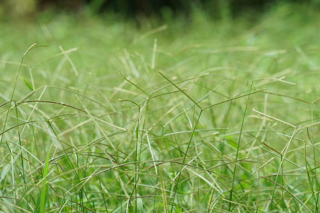 bahiagrass close up