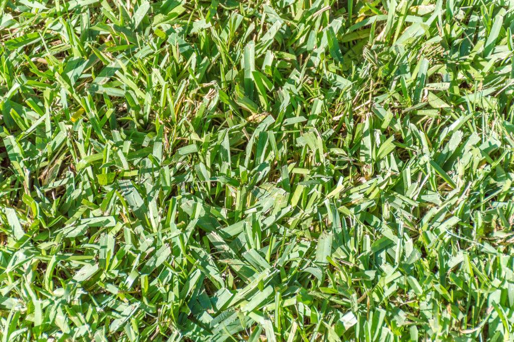 Close up photo of centipede grass