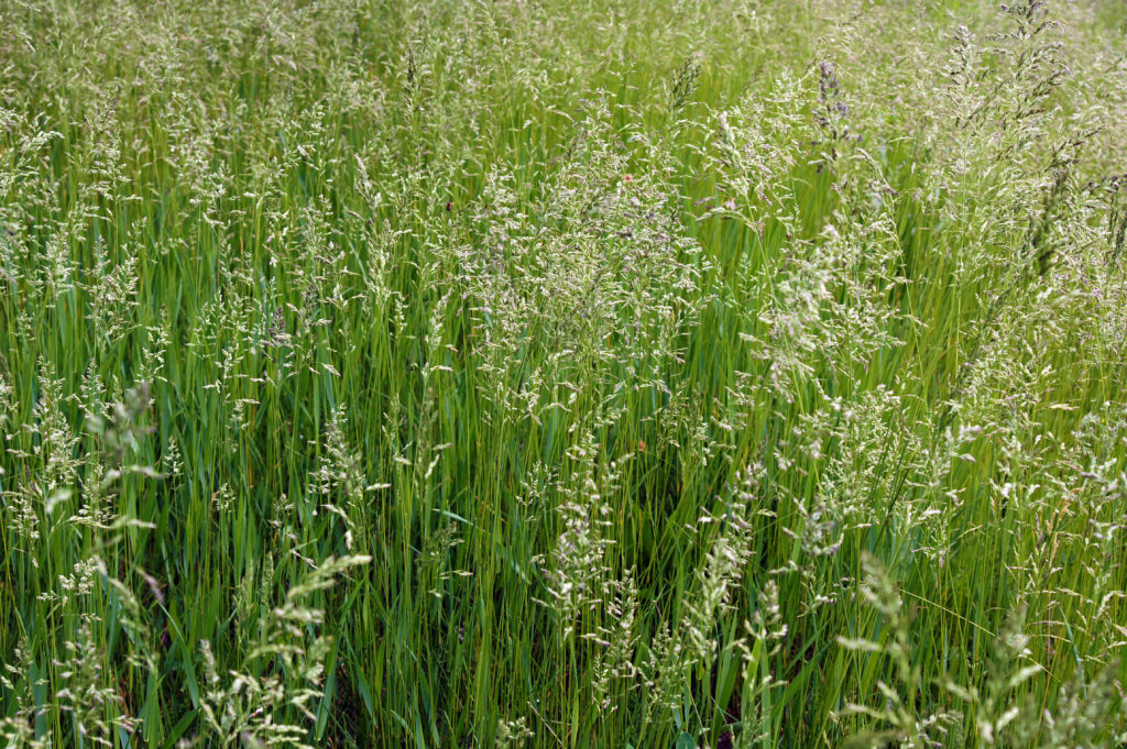 Close up photo of tall fescue grass