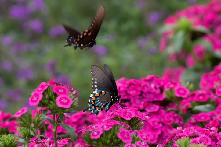 Black Swallowtail Butterflies in the Colorful Garden