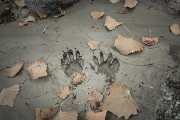 Raccoon footprints in the clay.