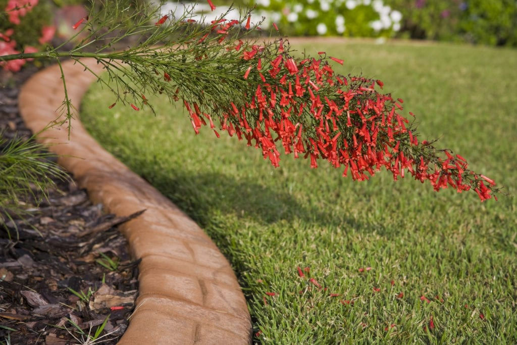 red firecracker bush in landscape with brick edging