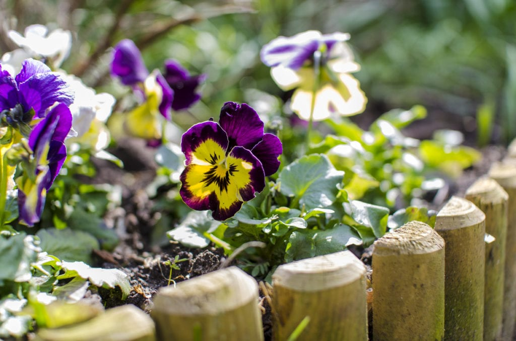 violets in garden with wood edging