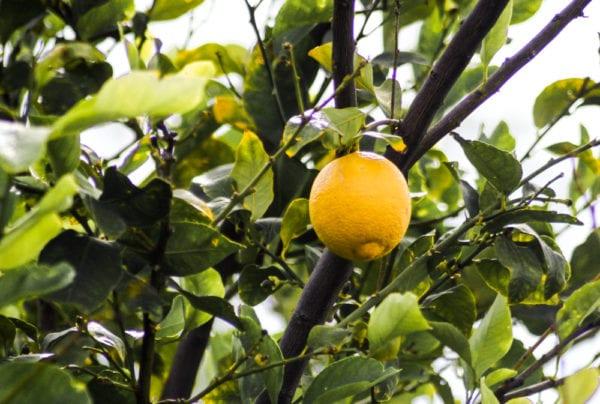 Lemon tree in Arizona