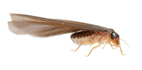 closeup of termite with wings