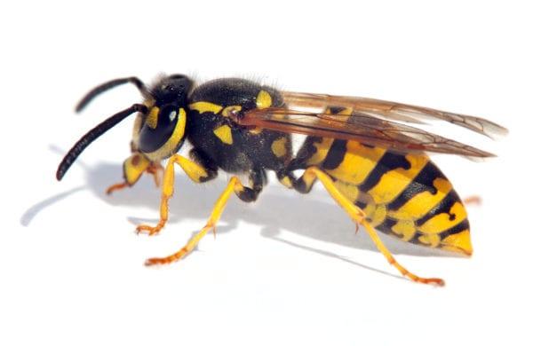 Up close photo of a wasp