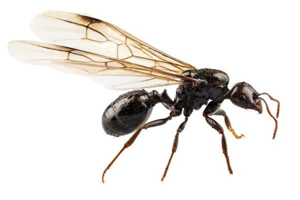 black ant with wings, species niger lasius